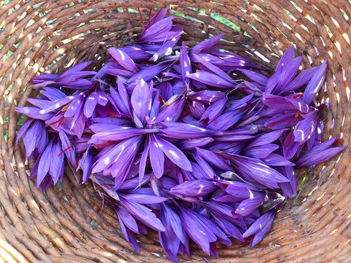 saffron from abruzzo