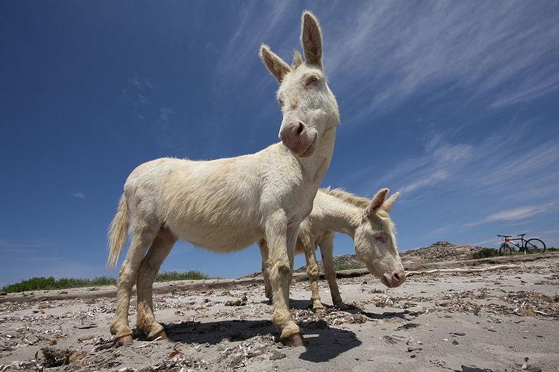 white donkey sardinia